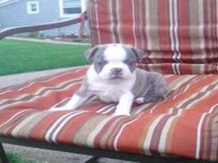 Donne chiot boston terrier mâle